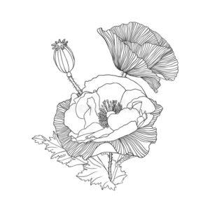 fleurs-linéaires-de-pavot-60320427